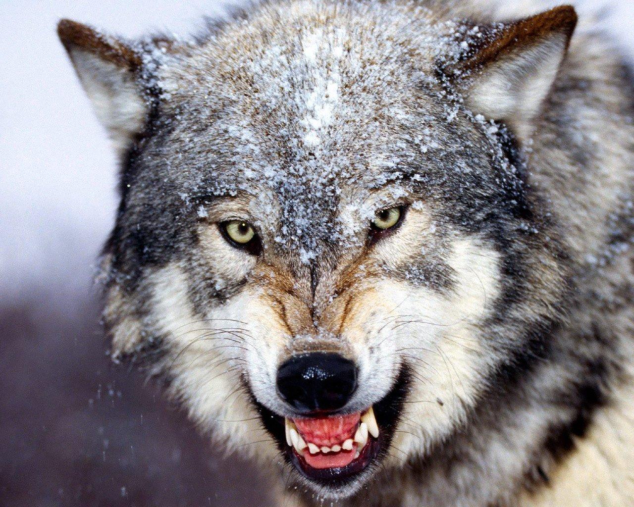 Как действует волчий клык