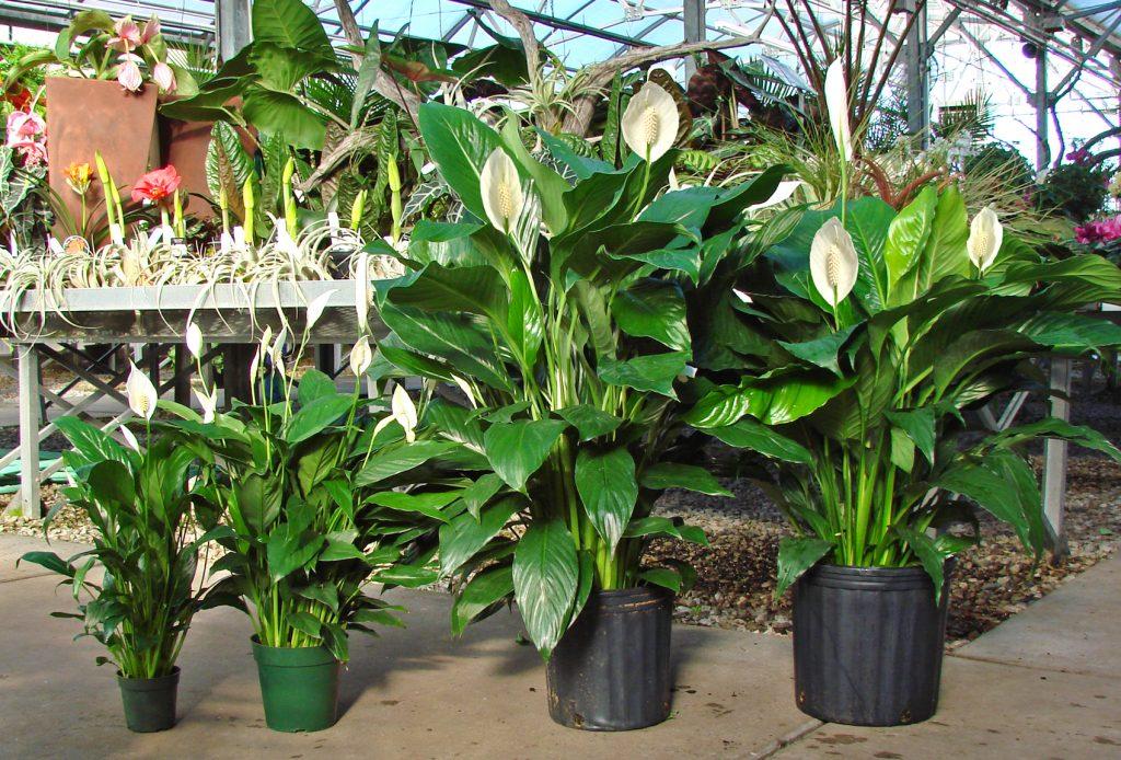 Растение Спатифиллум от одиночества